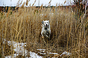 "English Setter ""Rudy"" rennt am 09.02. 2019 am Teich in Stara Lysa, (Tschechische Republik).  Rudy wurde Anfang Januar 2017 geboren."
