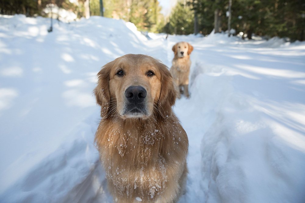 Two golden retrievers in the snow