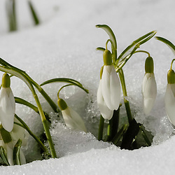 Sneeuwklokjes, Galanthus