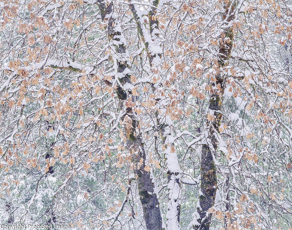 Fresh snow on black oak leaves, Yosemite Valley, Yosemite National Park, California 1996