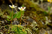 Mossy saxifrage (Saxifraga bryoides Syn.: Saxifraga aspera subsp. bryoides) inhabitant of the Arctic tundra but it also grows in the Alps. High Tauern National Park (Nationalpark Hohe Tauern), Central Eastern Alps, Austria | Moos-Steinbrech (Saxifraga bryoides Syn.: Saxifraga aspera subsp. bryoides), auch Moosartiger Steinbrech genannt. Nationalpark Hohe Tauern, Osttirol in Österreich