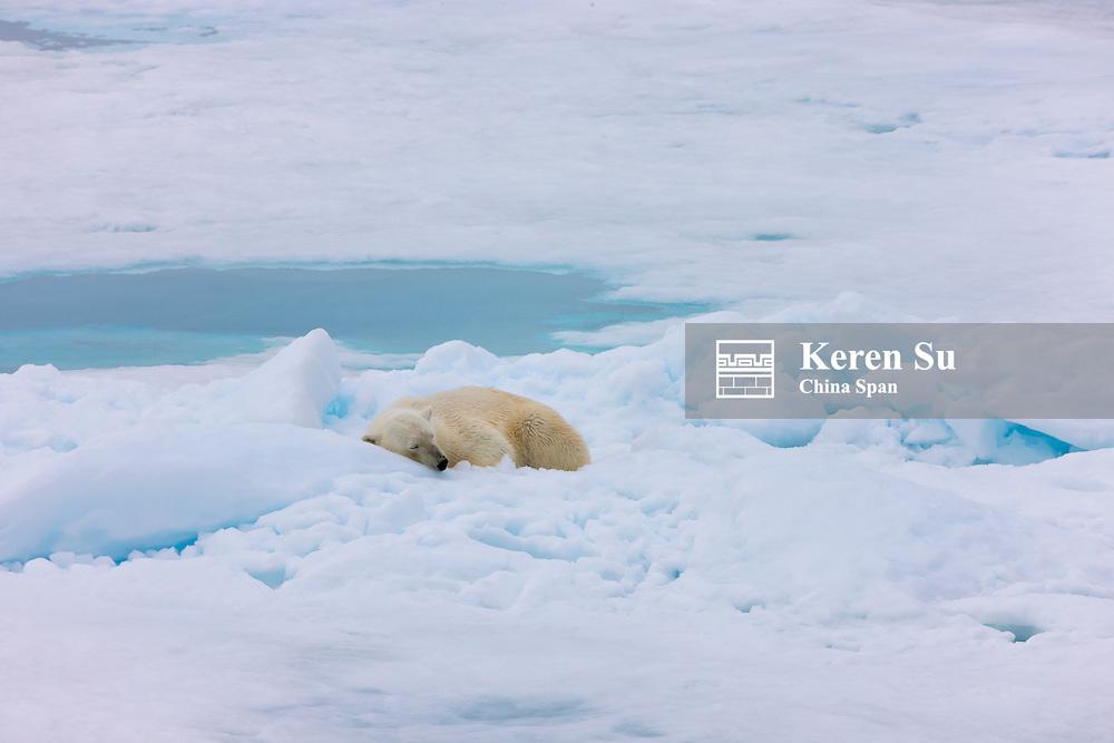 Polar Bear sleeping on ice, Woodfjord, Spitsbergen, Norway
