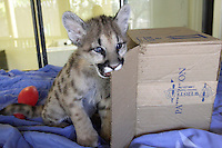 VALLEJO, CA - APRIL 26:  An orphaned 11 month old cougar cub plays at Six Flags Discovery Kingdom on April 26, 2007 in Vallejo, California. Three cougar cubs were given to the park from the Idaho Fish & Game in March after they were found motherless in the wild and it was determined that they would not survive in the wild. They will be a part of the park's Wildlife Theater show.  (Photo by David Paul Morris)
