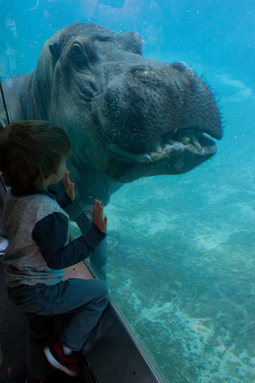 young boy face to face with giant hippopotamus at San Diego Zoo