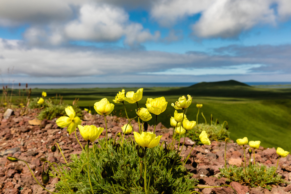 Arctic Poppy (Papaver radicatum) grows from the volcanic soil of St. Paul Island in the Pribilofs in Southwest Alaska. Summer. Afternoon.