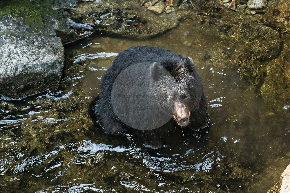 An adult American black bear fishes for spawning salmon at Anan Creek in the Tongass National Forest, Alaska. Anan Creek is one of the most prolific salmon runs in Alaska and dozens of black and brown bears gather yearly to feast on the spawning salmon.
