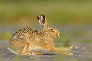 European Hare (Lepus europaeus) adult, stretching on farm track,  South Norfolk, UK. May.