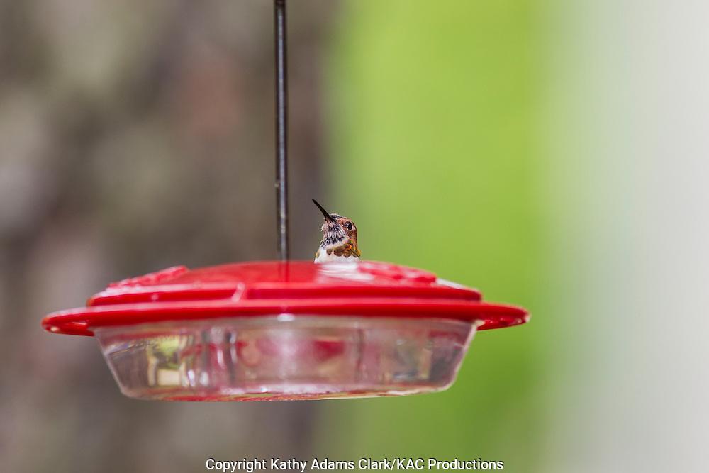 Rufous Hummingbird on feeder; The Woodlands, Texas; spring