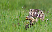 American badger with freshly caught Columbian ground squirrel