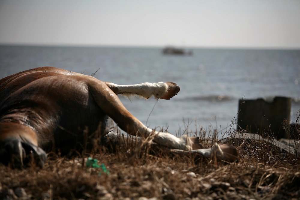 A dead horse lays with debris scattered on the beach in Smith Point, where houses once stood, Sunday September 21, 2008.  Much of the debris is from towns across the bay.