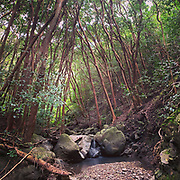 Guava trees, Niu Valley Stream, Oahu, Hawaii