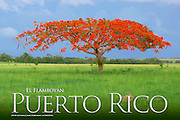 "Flamboyant Tree, Royal Poiciana, ""Delonix Regia"""