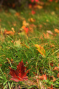 Fall coloured leaves on the green lawn in a garden
