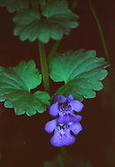 Ground Ivy, or Creeping Charlie