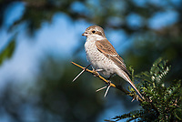 Female Red-Backed Shrike, Phinda Private Game Reserve, Zululand, KwaZulu Natal, South Africa