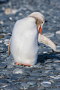 Leucistic Gentoo Penguin (Pygoscelis papua), Salisbury Plain, South Georgia Island, South Atlantic Ocean