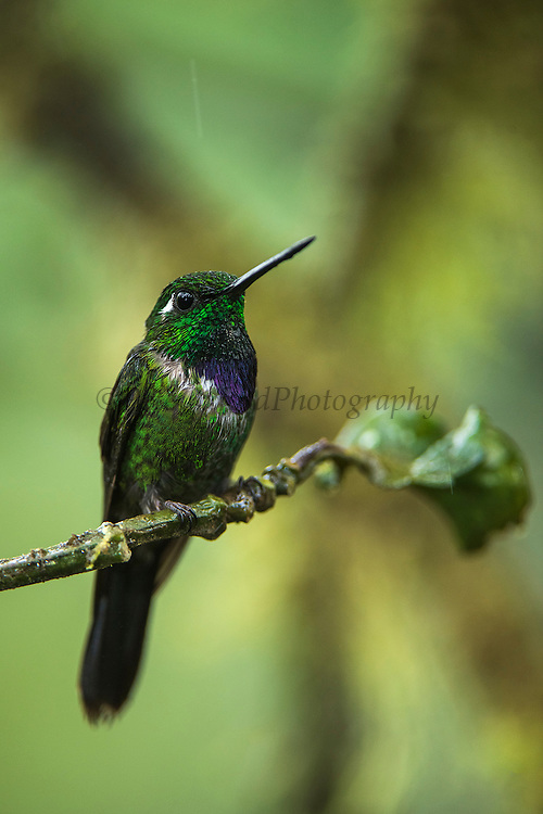 Purple-bibbed whitetip (Urosticte benjamini)<br /> Western slopes of Andes<br /> Andes<br /> ECUADOR, South America<br /> Habitat & Range: Native to Colombia, Ecuador and Peru