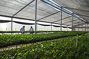 The farm manager and the company owner examine the crops in the small organic bananas nursery. The small crops are specially maintained in a protective area until they are ready to go to the larger nursery.