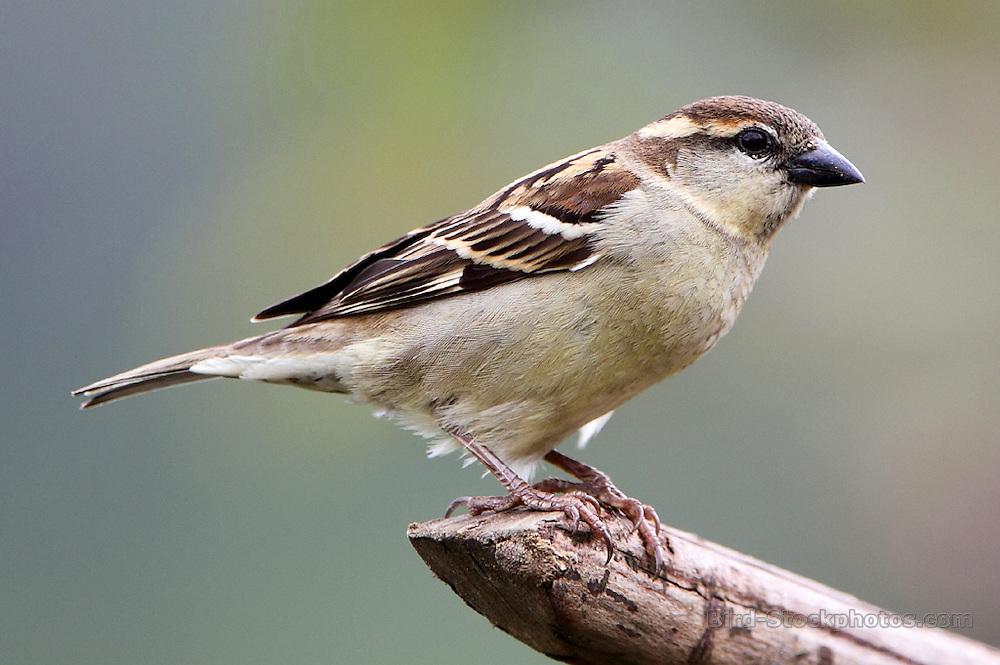 Russet Sparrow, Passer rutilans, female, Bhutan, by Paul Ellis