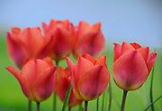 tulip show, drums tulips