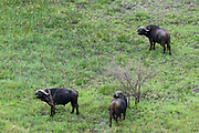 An aerial view of African buffalos, Syncerus caffer.