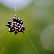Orb weaver spider in middle of huge web on a South Texas Ranch.