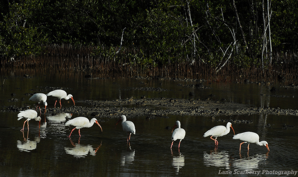 A wading bird of the deep South, the striking White Ibis is frequently seen on lawns looking for large insects as well as probing for prey along the shoreline.