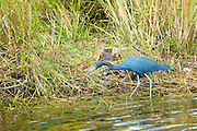 Little Blue Heron, Egretta caerulea, fishing in creek along Tamiami Trail in the Florida Everglades, United States of America