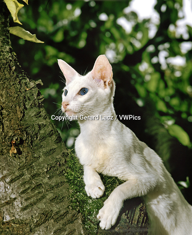 FOREIGN WHITE DOMESTIC CAT, ADULT STANDING IN TREE