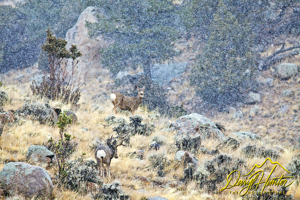 Mule Deer in snowstorm, Whisky Mountain, Dubois, Wyoming