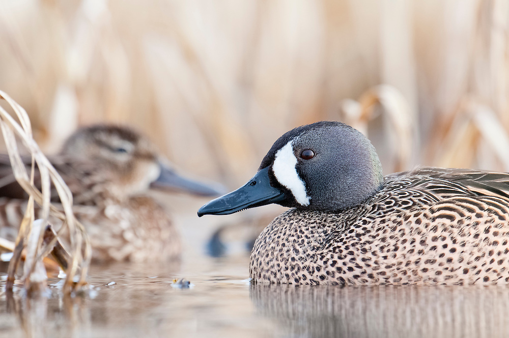 Blue-winged Teal, Anas discors, male, McPherson County, South Dakota