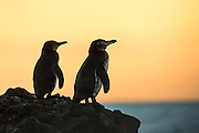 The Galapagos Penguin is a penguin endemic to the Galapagos Islands. It is the only penguin that lives north of the equator in the wild. With fewer than 2000 individs in the world, this species is endangered | Galapagospingvinen er unik for Galapagos, og den eneste ville pingvinen nord for ekvator. Men mindre enn 2000 individer på verdensbasis, er denne arten utrydningstruet.