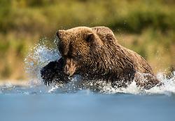 Grizzly bear (Ursus arctos) fishing for salmon in Katmai, Alaska