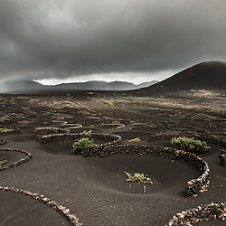 Vine tendrils under a rainbow in the barren and volcanic landscape of Lanzarote, Spain.
