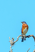 Eastern bluebird sitting on a limb looking to the left