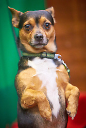 © Licensed to London News Pictures. 08/03/2018. Birmingham, UK.  Crufts dog show in the NEC. In this picture: Mistral,  a cross between an American Terrier and a Chihuahua and a family pet and obedience dog.  Photo credit: Cliff Hide/LNP