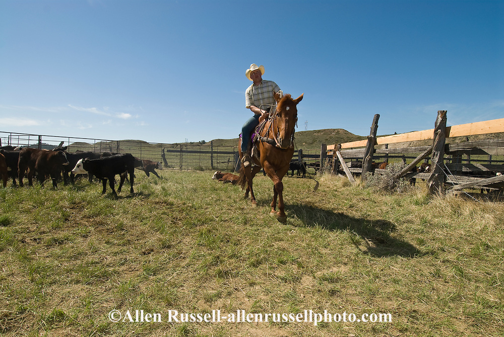 Cowboy, Rancher, ropes and drags calf to fire at branding, east of Miles City, Montana