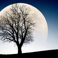 Winter, Tree, Large, Moon, Silhouette, Godshill, Isle of Wight, England, UK,