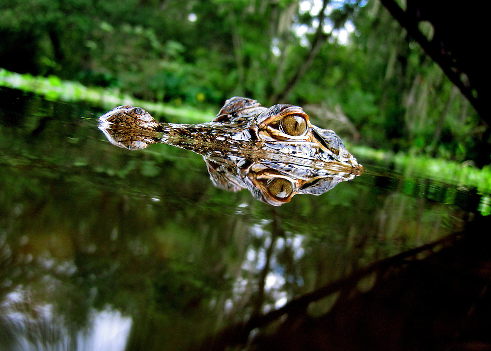 An alligator inspects a camera trap at Sawgrass Lake Park in Pinellas Couny, FL. Using remote cameras allow photographers to create intimate images of wildlife with minimal disturbance to their habitat... and minimal danger to the photographer.
