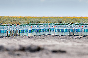 Bottles of water samples in a farm field in Pixley.  Although requiring lots of water, leveled farm fields and modern irrigation systems limit the waste.  In general, vegetable farming requires only a fraction of the water that is needed for livestock farming.