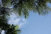 Royal Poinciana tree leaf patterns