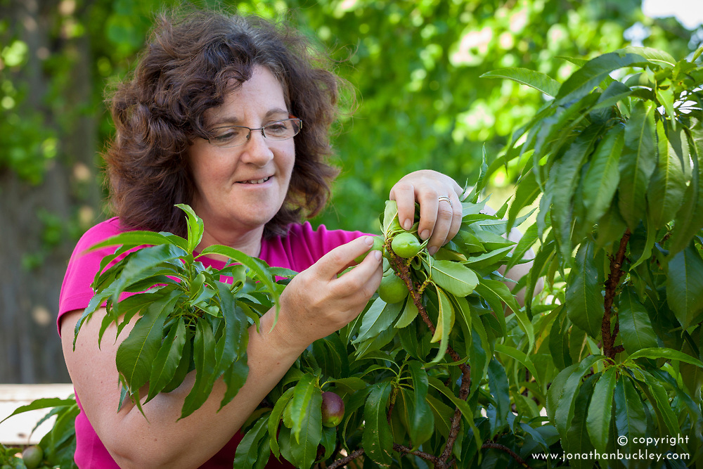 Thinning fruit - nectarines