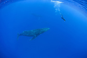 Humpback Whale<br /> Megaptera novaeangliae<br /> Free diver swimming with male<br /> Tonga, South Pacific