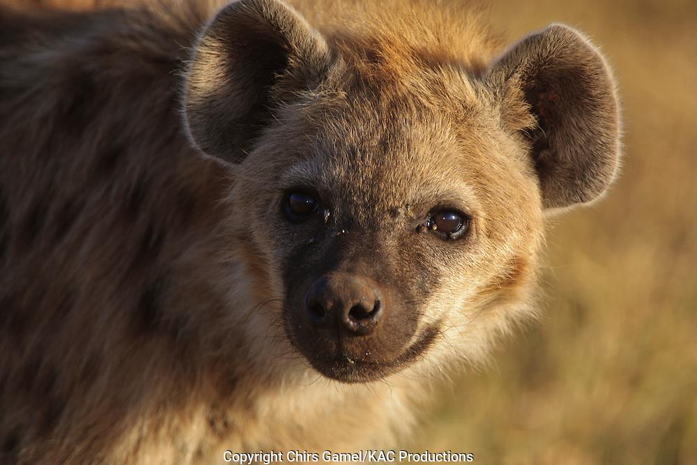 Juvenile spotted hyaena.