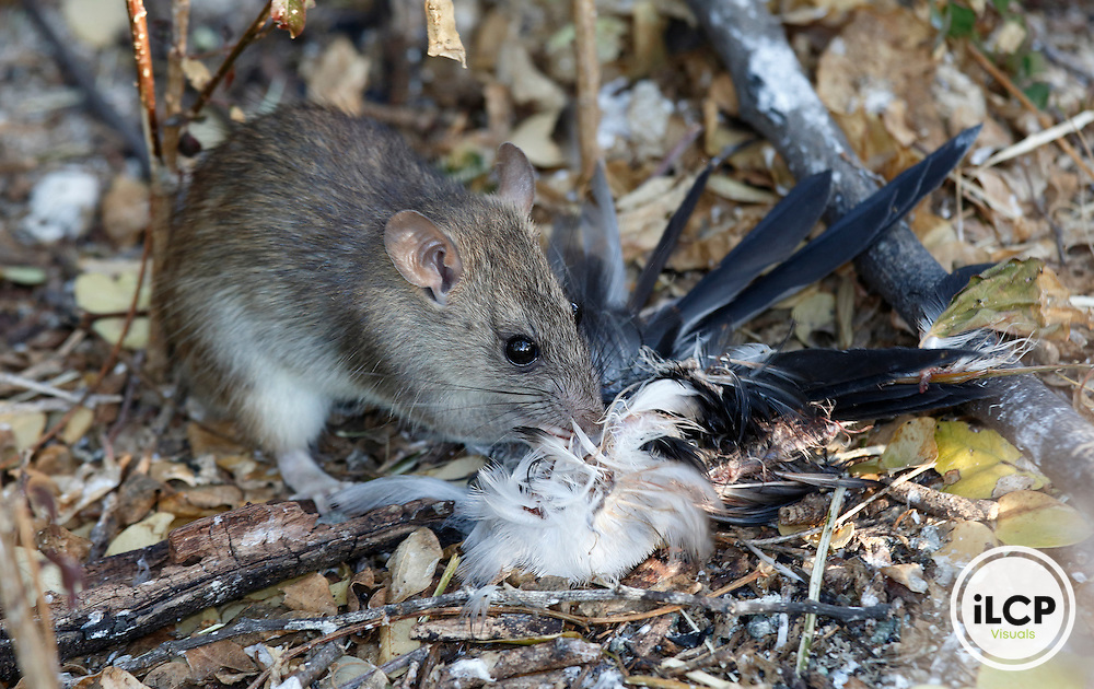A Norway Rat eats a Sooty Tern on a small off-shore island. The island is a breeding site for the terns. The rats arrived on floatsam and feast on the chicks throuout the breeding season.