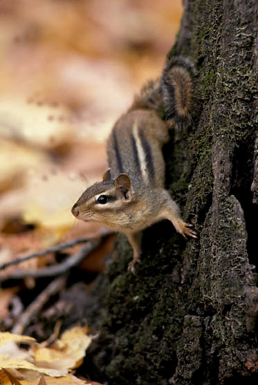 Eastern Chipmunk, (Tamias striatus) Foraging for seeds in forest Fall.