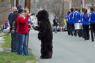 Middletown, New York - The Middie Bear, Middletown High School's mascot greets people watchingin the 60th annual Middletown Little League parade on April 14, 2013. The woman at left is photographing the parade.