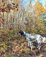 An upland hunter approaches his young setter during a hunt in northern Wisconsin.