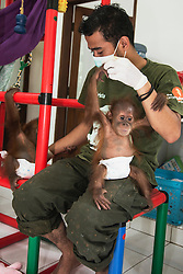Critically endangered Sumatran orangutan infants (Pongo abelii)  that were rescued from illegal pet traders after their mothers were killed, play in the quarantine center in Medan where they need to live until they are old enough to be released safely back into the wild, Medan, Sumatra, Indonesia