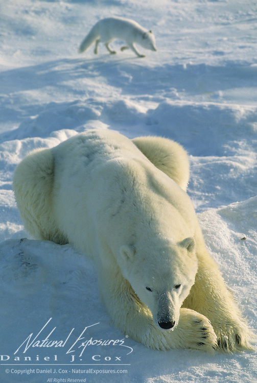 Polar Bear adult resting while an arctic fox scavenges nearby. Hudson Bay, Canada